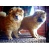 Замечательные щенки чау-чау ищут своих любящих хозяев